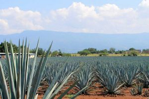 Tour en tequila paisaje agavero